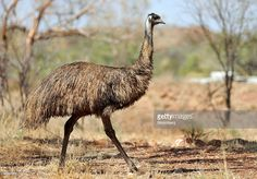 A wild emu, a symbol on the Australian coat of arms, is seen at the site of the Mount Dore molybdenite deposit in Ivanhoe Australia Ltd.'s Cloncurry Project, near Cloncurry, Queensland, Australia, on Thursday, Sept. 17, 2009. Ivanhoe Australia Ltd. is the Australian unit of billionaire Robert Friedland's Ivanhoe Mines Ltd.