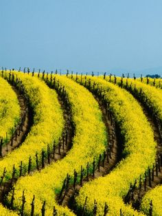 Brilliant yellow mustard in bloom between the rows of vines.