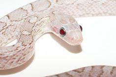 Lavender Pewter Corn Snake