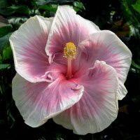 Grand Hyatt hibiscus