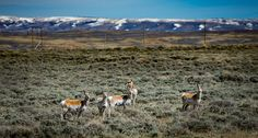 Campbell County, Wyoming Represents Your Best Bet at Legitimate Western Trophy Hunting