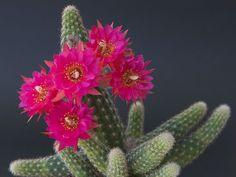 Chamaelobivia 'Rose Quartz' is a hybrid between Chamaecereus silvestrii (now renamed Echinopsis chamaecereus) and Lobvia, but since both. Mini Cactus Garden, Succulent Gardening, Succulent Terrarium, Cacti And Succulents, Planting Succulents, Planting Flowers, Flowers Garden, Cactus Planta, Cactus Y Suculentas