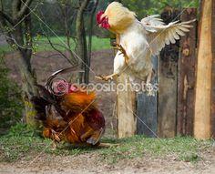 Pelea de gallos — Foto de Stock #5658761