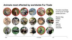 Fur Trade, Racoon, Chinchilla, Dogs, Animals, Chinchillas, Animales, Animaux, Pet Dogs