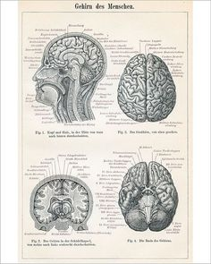 Framed Print Antique 1894 German Anatomy Picture Human Brain (Medical Art) is part of Science Wallpaper Anatomy - Medical Drawings, Medical Art, Brain Illustration, Medical Illustration, Art Illustrations, Human Brain Anatomy, Medical Wallpaper, Human Figure Drawing, Human Brain Drawing