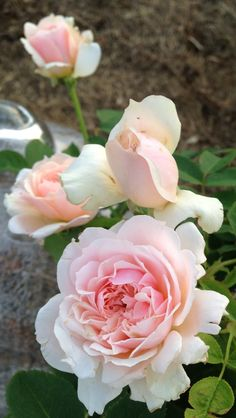 """Quietness"" rose: ""If you are looking for a stunning, soft pink, non stop blooming, smell-o-rama experience, than Quietness is the rose for you."""
