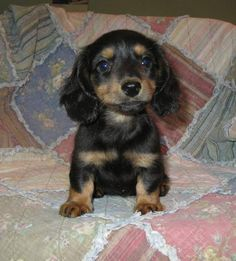 Dachshunds-How can you not smile at this cutiepie!
