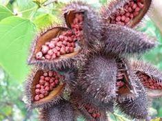 510 20 30 50 Wild Annatto Bixa orellana Non-GMO | Etsy