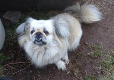 Sophie Peeks is an adoptable Pekingese searching for a forever family near Barnesville, GA. Use Petfinder to find adoptable pets in your area.