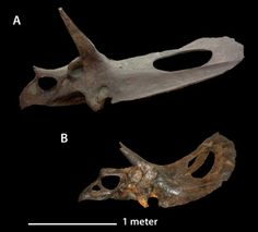 Torosaurus - Wikipedia // Figure 8. Comparison of the size of Torosaurus latus specimens. A, YPM 1831, a subadult, skull length >2.6 m, and B, ANSP 15192, an early adult, skull length 1.8 m. The rostrum of YPM 1831 is reconstructed and would probably have been slightly longer, as in ANSP 15192.