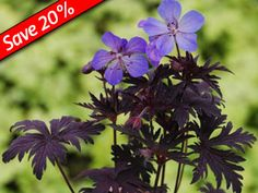 "Geranium Dark Reiter Black foliage Sun Ground Cover Bright blue flowers bloom in early summer Rabbit & deer proof Zone 7,8 Blooms Early summer-Fall 12"" X 12"""