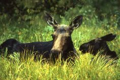 Mother & Baby Moose in Yellowstone  / ckoegl
