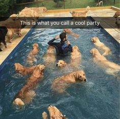 21 dogs in this pic. #goldenretriever