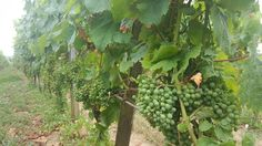 Grapes of 2016 harvest!