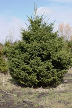 Rich's Foxwillow Pines Nursery, Inc. - Picea glauca var. densata – Black Hills Spruce