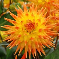Dahlia Semicactus 'Rising Sun'