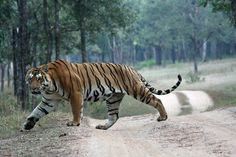 tiger side profile - Google Search