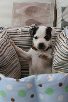 Dave the Parson Russell Terrier in his new home