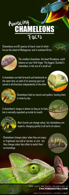 Amazing and Interesting Chameleons Facts You Didn't Know