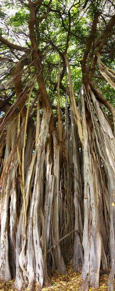 Banyan tree at Kali's summer palace's gardens [chapter Nature Tree, Art Nature, Magical Tree, Unique Trees, Old Trees, Tree Forest, Jolie Photo, Tree Of Life, Amazing Nature