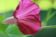 whiteedge morning-glory(アサガオ)  花言葉  愛情 平静 愛情の絆 結束 短い愛 明日もさわやかに はかない恋
