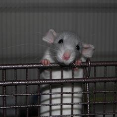 Pet rats! Cute