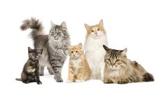 Young Living Essentials Oils: Cats Who knew? Essential Oil Brands, Yl Oils, Doterra Oils, Doterra Essential Oils, Young Living Oils, Young Living Essential Oils, Types Of Cats, Cat Breeds, Fur Babies