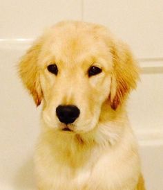 """Obtain wonderful ideas on """"golden retriever pup"""". They are actually accessible for you on our web site. Fat Dogs, Dogs And Puppies, Doggies, Dogs Golden Retriever, Retriever Puppies, Golden Retrievers, Labrador Retriever, Golden Puppy, Getting A Puppy"""