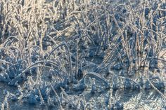 Charm of winter - Hoar frost coated reed, Lapland, Sweden.