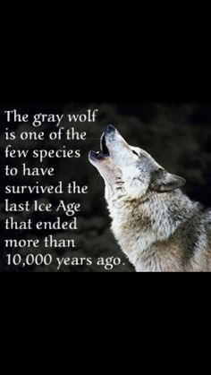 Wolf Facts》Ice Age