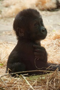Baby Gorilla. This is when they most resemble human infants (and they do cry), however, once they move from crawling to walking, they are all gorilla.