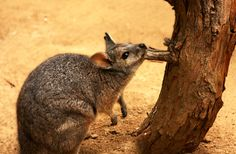 """Wallaby: The term """"wallaby"""" is something of a catch-all. There are about thirty species of wallaby, and the best definition anyone's come up with is a marsupial that's smaller than a kangaroo or a wallaroo. (Click to see more Australian wildlife) #australia #outback"""