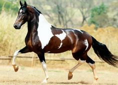Developed from Portuguese Lusitanos and eastern Barbs in Minais Gerais, Brazil, it is a gaited breed, intelligent and versatile. Not a baroque breed, but most definitely Iberian. Most Beautiful Horses, All The Pretty Horses, Animals Beautiful, Cute Horses, Horse Love, Horse Photos, Horse Pictures, Cheval Pie, Types Of Horses
