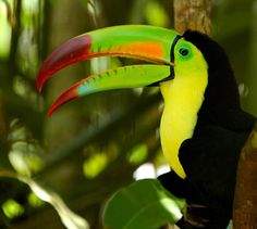 Keel-billed Toucan (Ramphastos sulfuratus) by ConstantineD on Flickr.