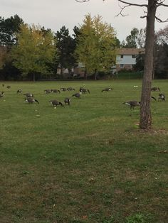 Canada Geese grazing on soccer field at Cliffwood PS Funny Pets, Funny Animals, Canada Goose, Ps, Toronto, Soccer, Plants, Hs Football, Futbol