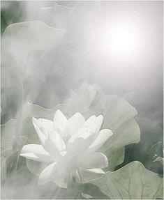 flower / white flower / White / White Lotus Flower @ Sun Rise / green / background / - IMG_3746 - زهرة اللوتس, ハスの花, 莲花, گل لوتوس, Fleur de Lotus, Lotosblume, कुंद, 연꽃 -    By Bahman Farzad @Tony Wang
