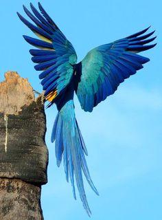 Wonderful blue wings #birds