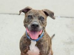 POOCHIE – A0802376 Safe - 5-3-2017 Brooklyn Rescue: Second Chance Rescue Please honor your pledges: http://www.nycsecondchancerescue.org/donate/