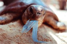 Rare sea turtles eating plastic at record rate Not only are the endangered animals devouring more plastic than ever before, a new study finds, but the problem is most pronounced among younger turtles.
