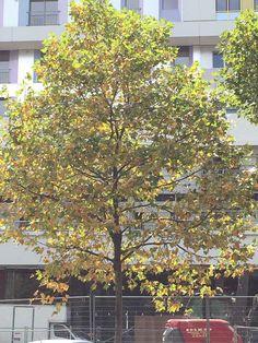 #Sécheresse et feuilles mortes dans Paris http://www.pariscotejardin.fr/2015/08/secheresse-et-feuilles-mortes-dans-paris/