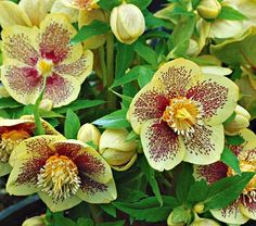 Hellebores, how I love you.