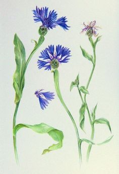 Cornflower, wayward and yawning