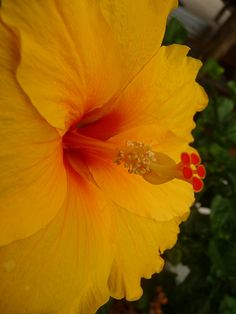 I'm still playing with yellows, wondering if this hibiscus yellow might work.