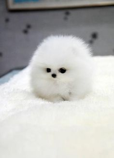 I can't figure out what breed of pup this is, but it sure is a cutie, Daughter thinks it's a polar bear that has shrunk & gone super fluffy in the dryer