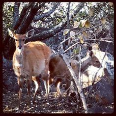 Antelopes at Klein Kariba, Limpopo Where The Heart Is, My World, Kangaroo, Safari, Africa, Nature, Animals, Animales, Naturaleza