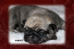"""Fairytailpuppies """"where pets are family too - POMPEY"""