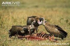 Risultati immagini per Vultures