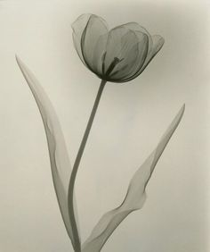 """Dain L. Tasker's radiographs depict delicate flowers from the inside out """"Tulip,"""" 1931. (Dr. Dain L. Tasker/Joseph Bellows Gallery)"""