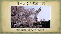 【(Japan)日本さくら名所百選】万物記念公園(大阪府吹田市)[Beautiful cherry blossoms in Japan]