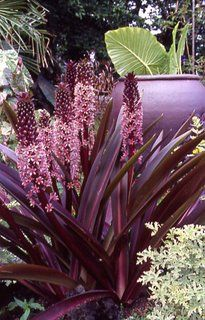 Eucomis 'Sparkling Burgundy', pineapple lily. Hardy to zone 6...came back from terrible winter..great accent plant!